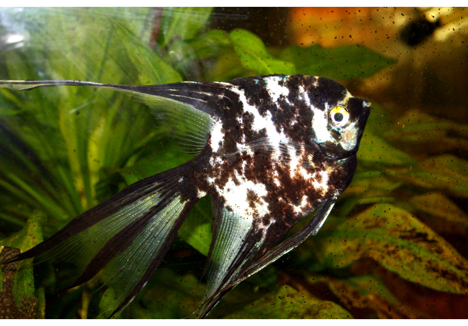skalar fisch foto bild tiere haustiere aquaristik