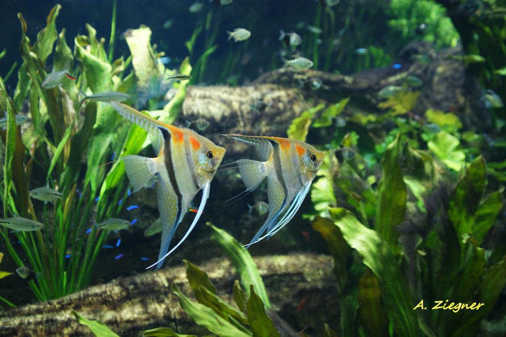 Skalar hagenbeck foto bild tiere zoo wildpark for Skalar aquarium