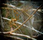 Skeleton Shrimp - Bali