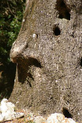 Skeptisch schaut der Olivenbaum