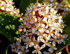 Skimmie (Skimmia japonica),