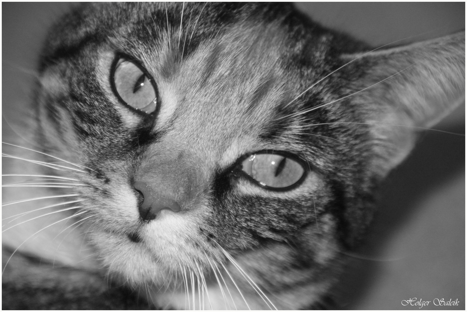 Skini, main coon Mischling