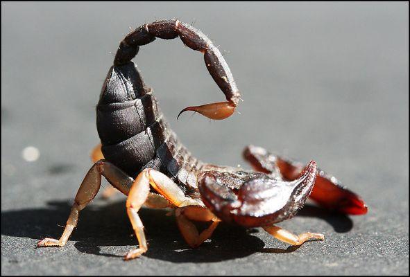 Skorpion 2/4: Der Stachel