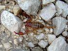 Skorpion in der Natur (Abruzzen).