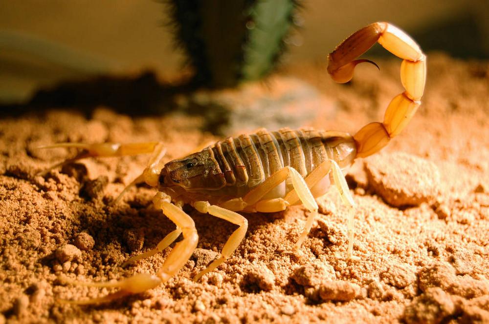 Skorpion - Leiurus quinquestriatus