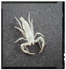 Skorpion ohne Inhalt
