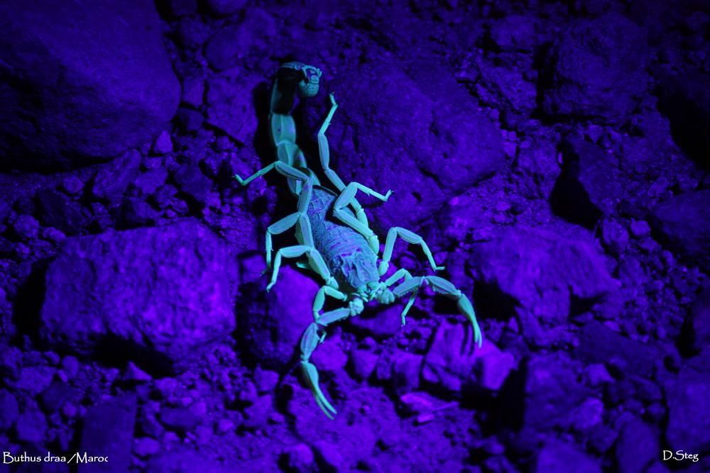 skorpion unter uv licht marokko foto bild tiere wildlife spinnen bilder auf fotocommunity. Black Bedroom Furniture Sets. Home Design Ideas