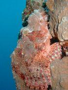 Skorpionfisch