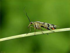 Skorpionfliege