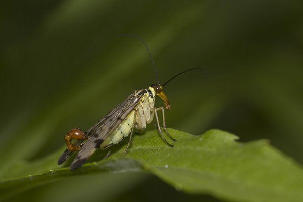 Skorpionfliege - Männchen