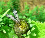 Skorpionfliege (Panorpa communis)