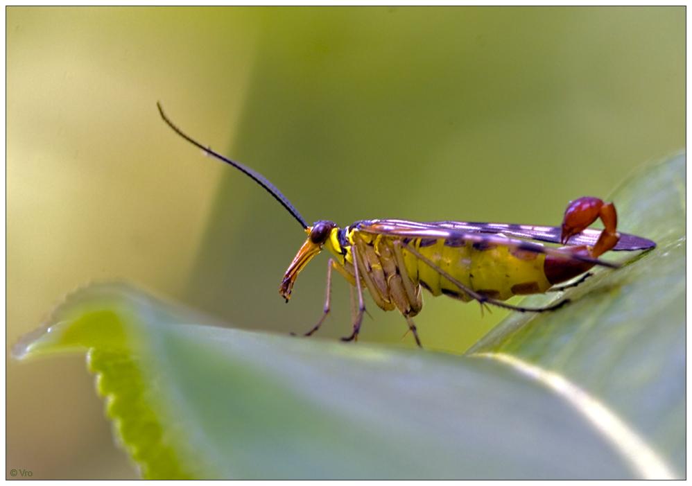 Skorpionsfliege 1