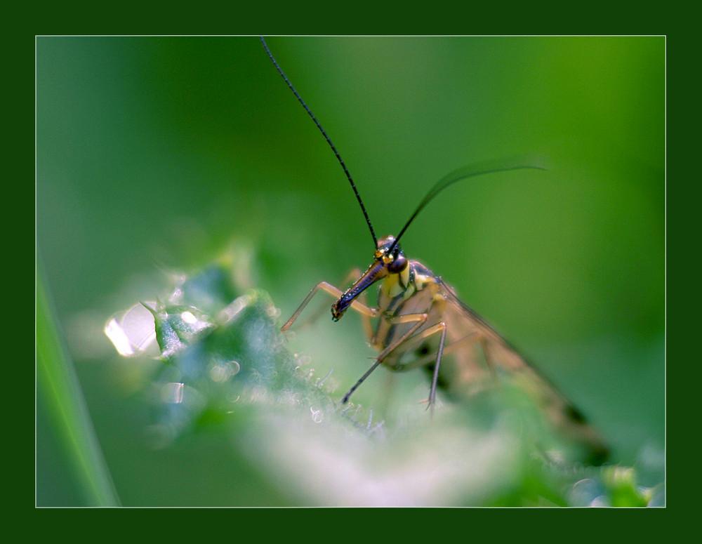 Skorpionsfliege (1)