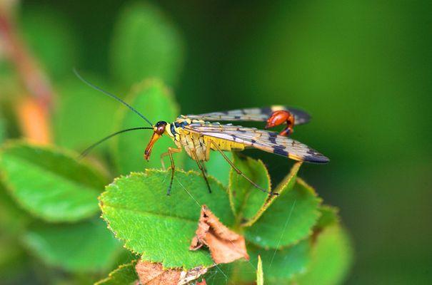 Skorpionsfliege