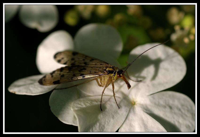 Skorpionsfliege I
