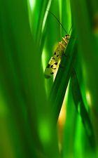 Skorpionsfliege im Schilf