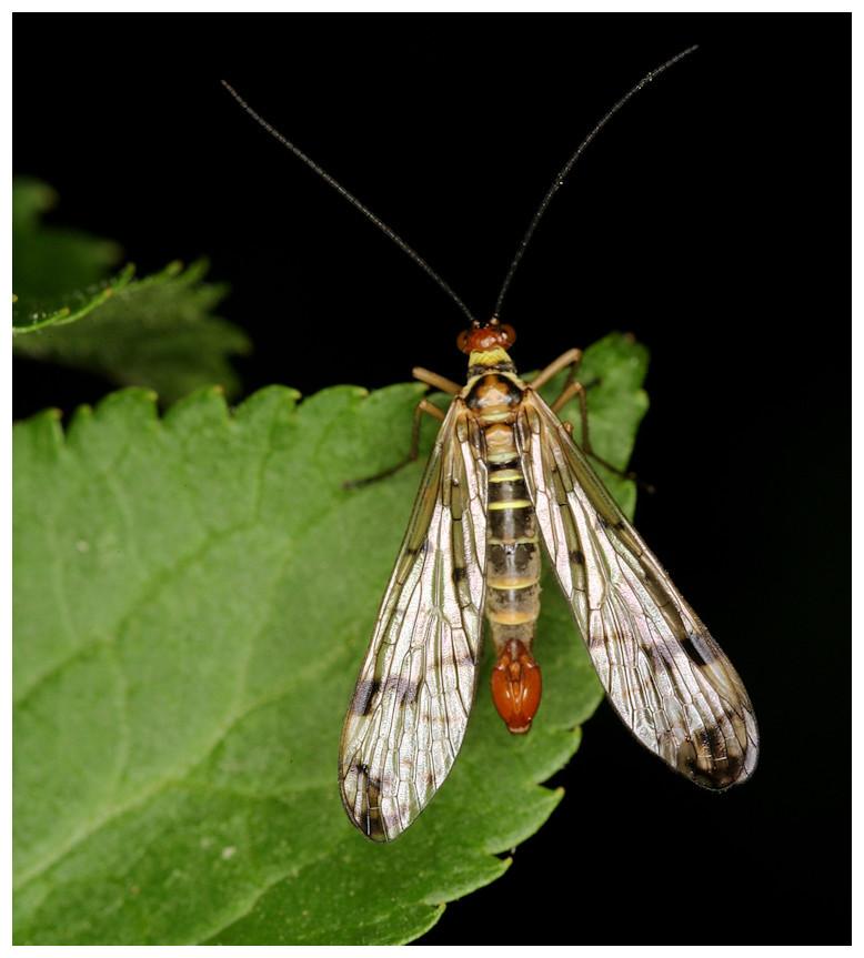 Skorpionsfliege männlich - Panorpa communis