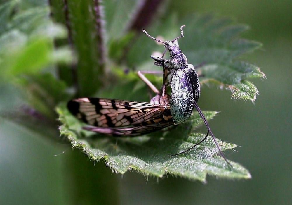 Skorpionsfliege, Panorpa communis/vulgaris