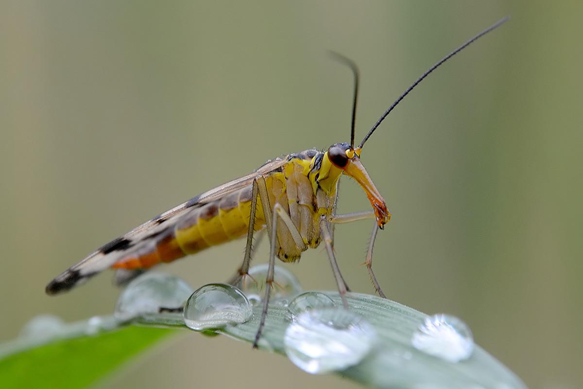 Skorpionsfliege Weibchen