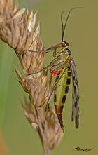 Skorpionsfliege Weibchen mit Eier