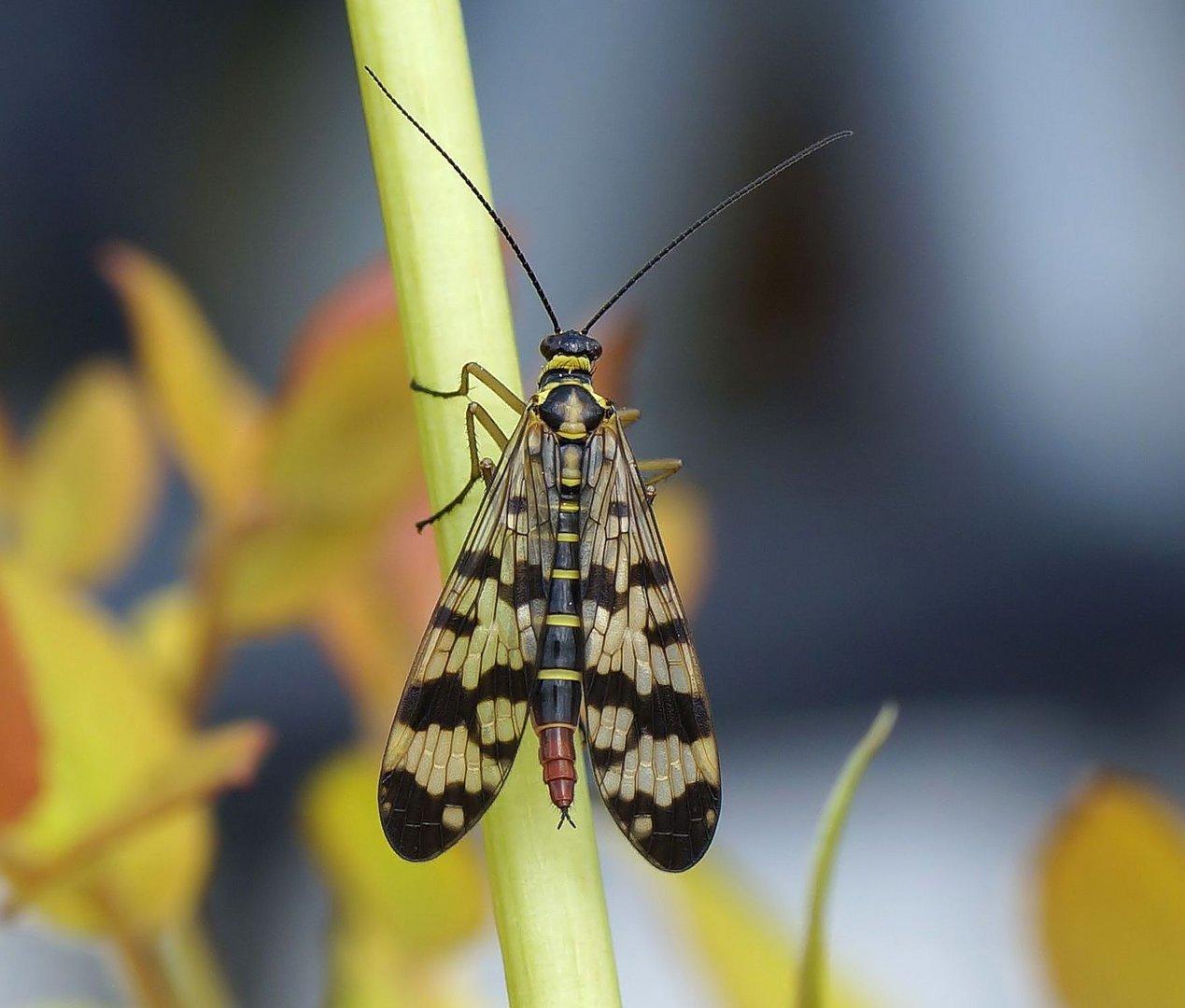 Skorpionsfliege weiblich
