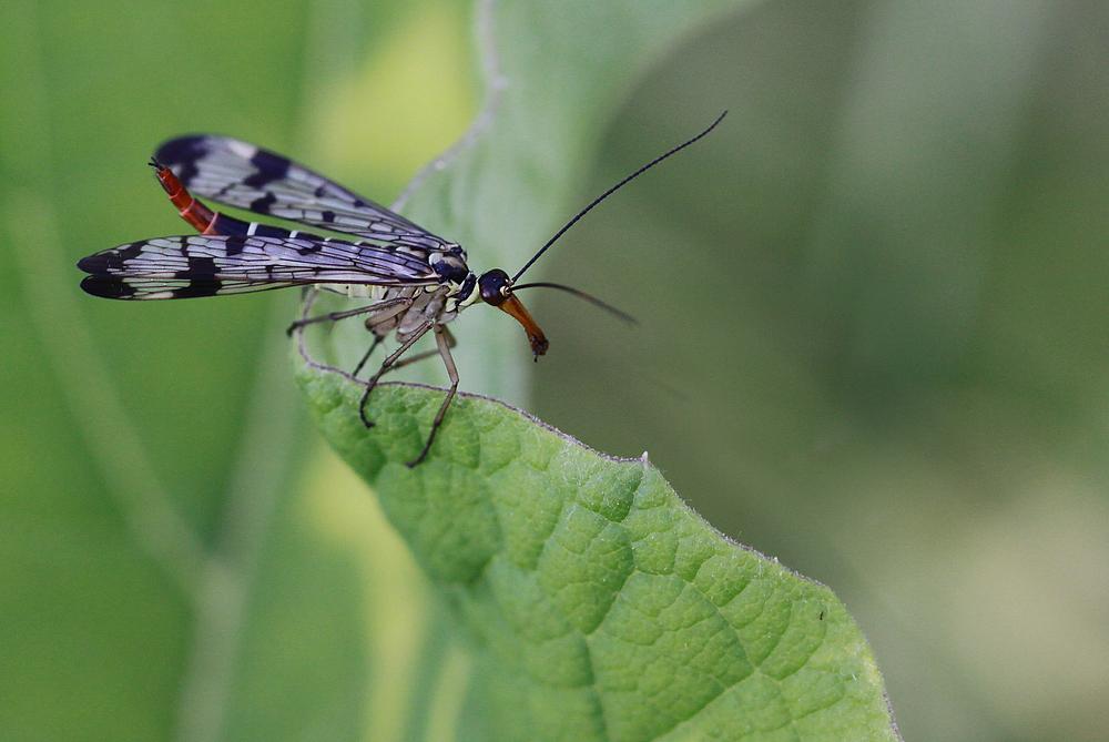 Skorpionsfliege (weiblich)