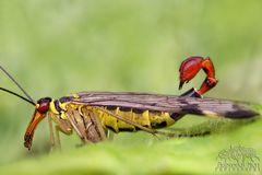 Skorpionsfliegen-Männchen