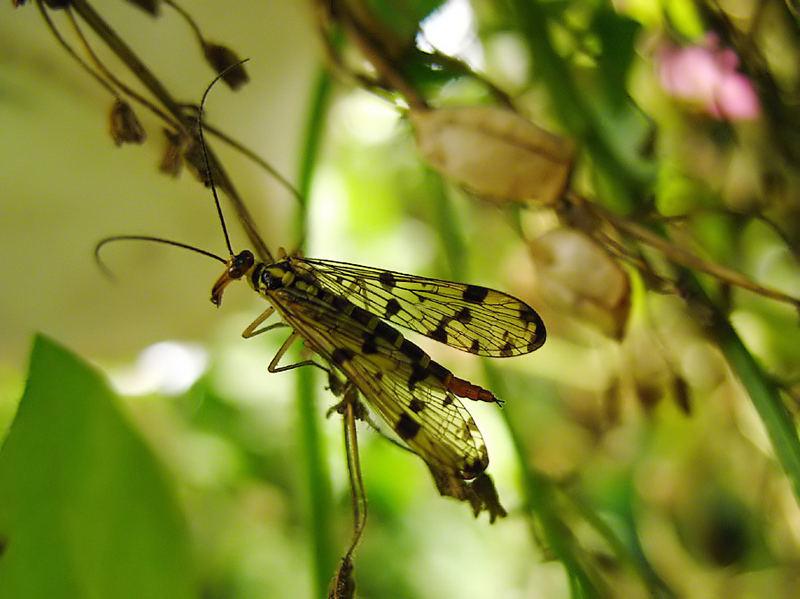 Skorpionsfliegenweibchen