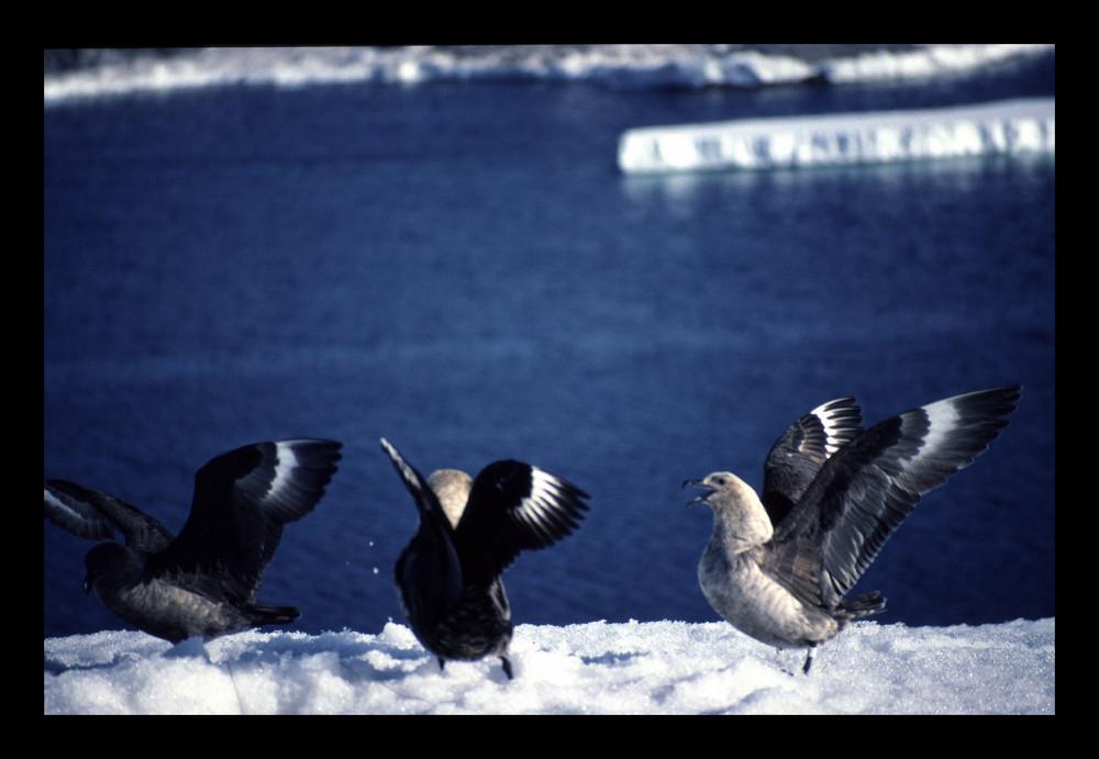 Skuas antarctiques