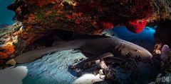 sleeping nurse shark