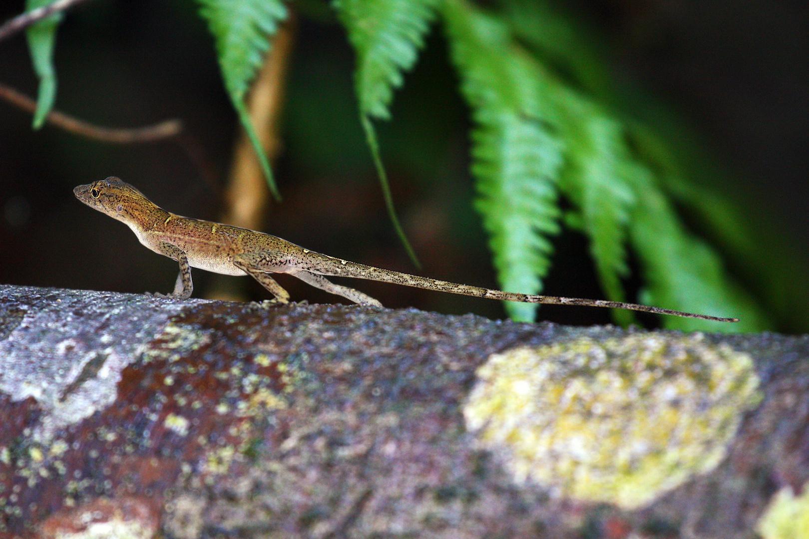 Slender Anole (Costa Rica)