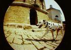 slowenischer dalmatiner macht beim vorbeilaufen gute figur