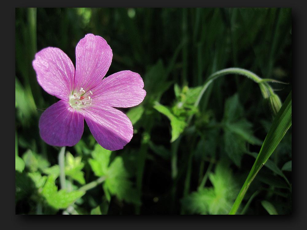 small purple flower photo  image  plants, fungi  lichens, Beautiful flower