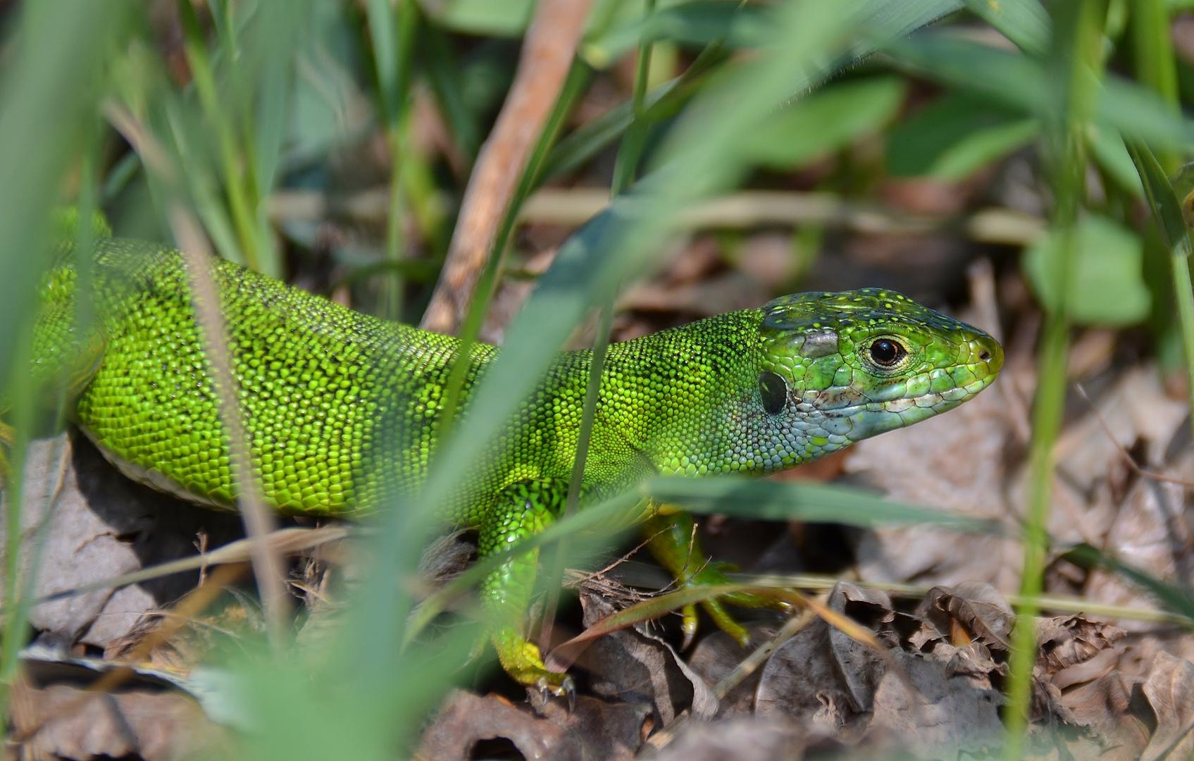 Smaragd-Eidechse