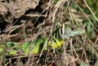 Smaragdeidechse in der ersten Frühlingsonne