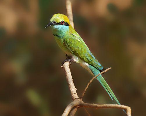 Smaragdspint (Merops orientalis)