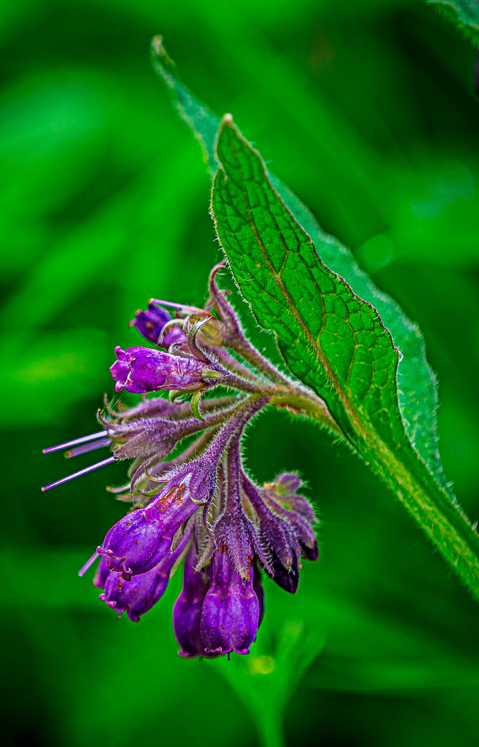smeerwortel (Symphytum officinale)