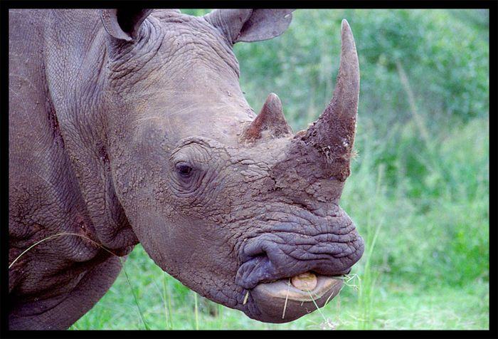 smiling white rhino