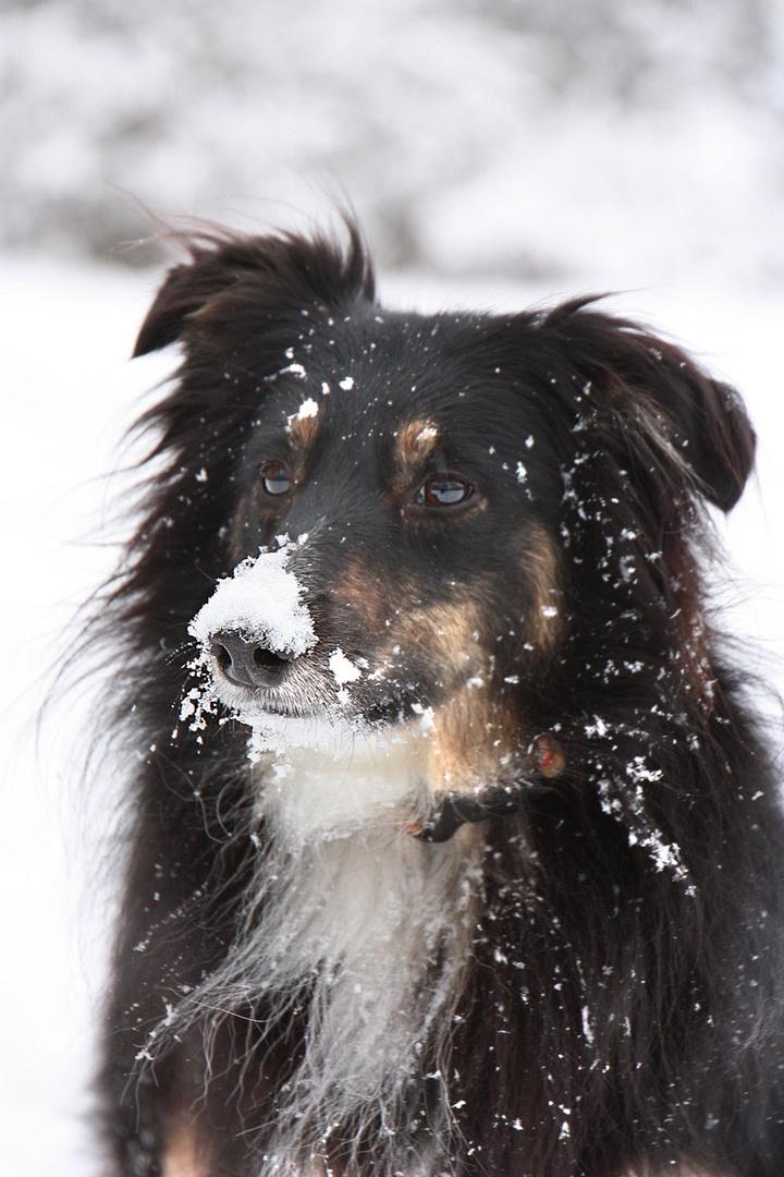 Smillar im Schnee
