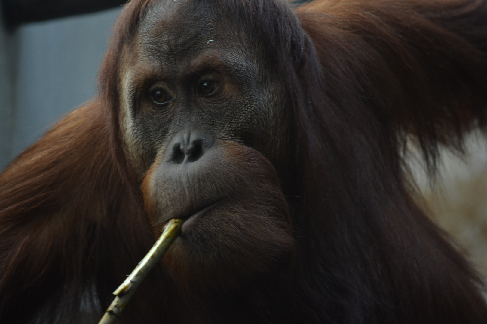 (Smoking) Monkey