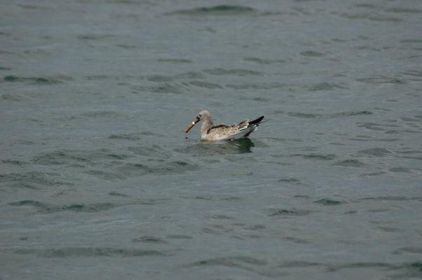 Smoking Sea Gull