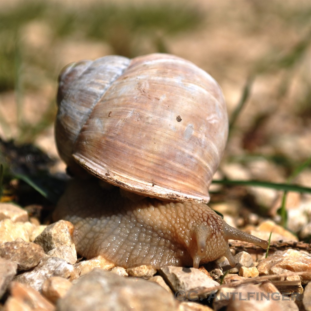snail I