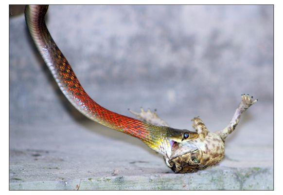Snake eat frog~