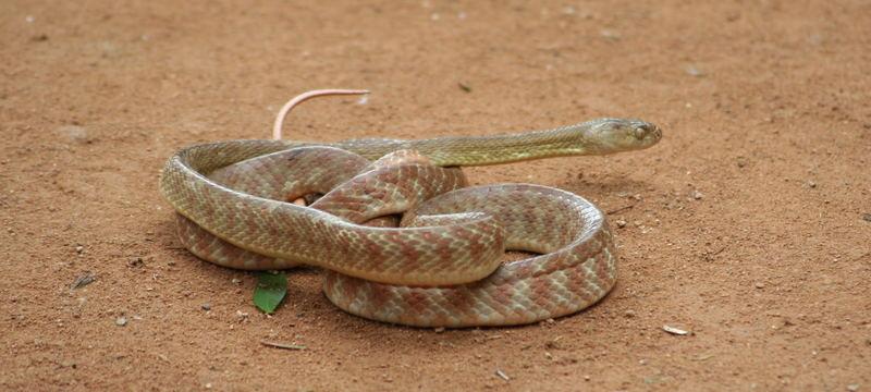 Snake im Billabong Sanctuary