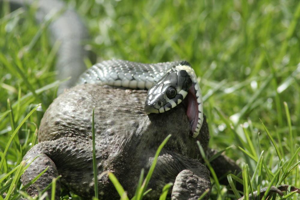 Snake wins ..