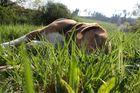 Snoopy der Beagle