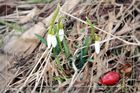 """""""snow-bells"""", first greetings of spring"""
