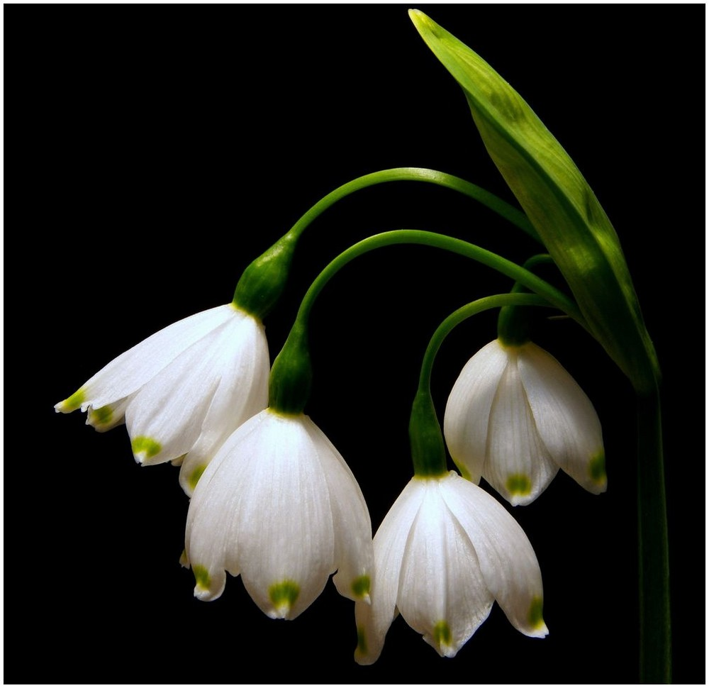 SNOW DROPS..SPRING IS HERE