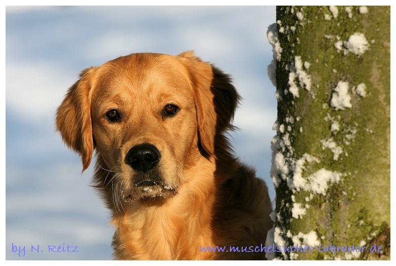Snow- Golden