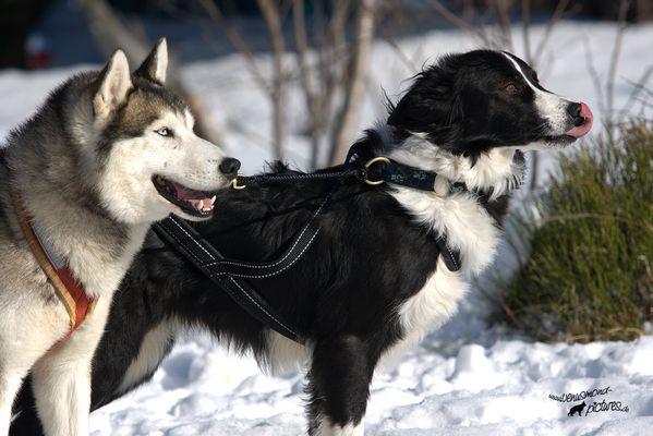 *Snowdogs*